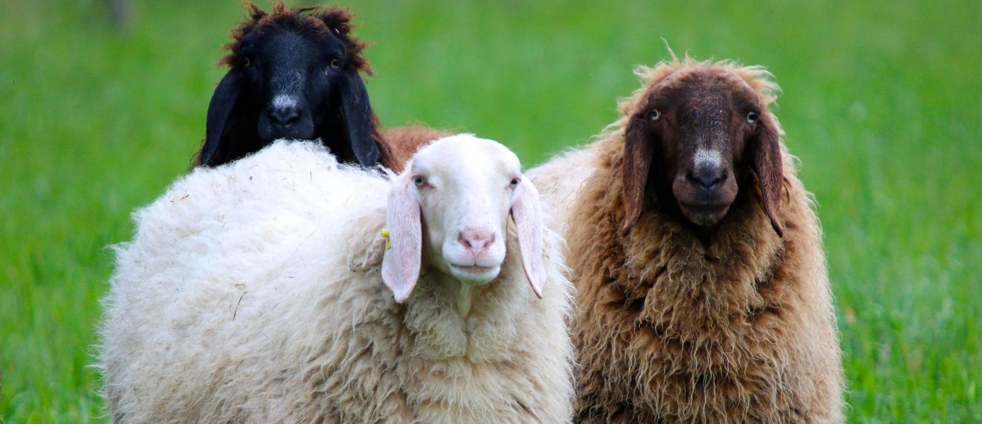 Waarom worden schapen geschoren?
