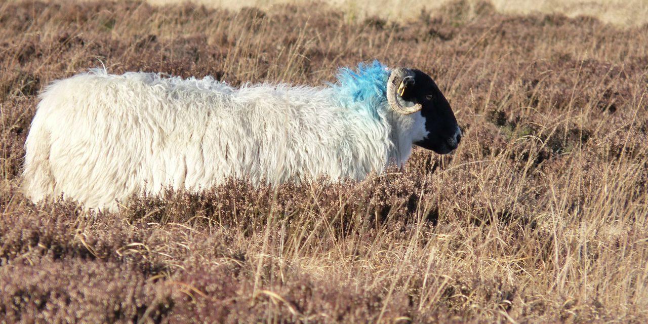 De schapen worden geschoren!